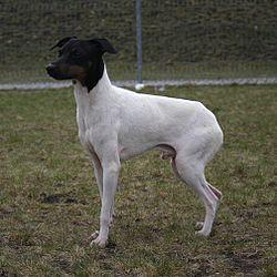 Japanese Terrier 22.04.2012 2pl.jpg