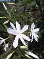 Jasmine Flower (1).jpg