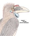 Jasper's Hornbill Illustration.jpg