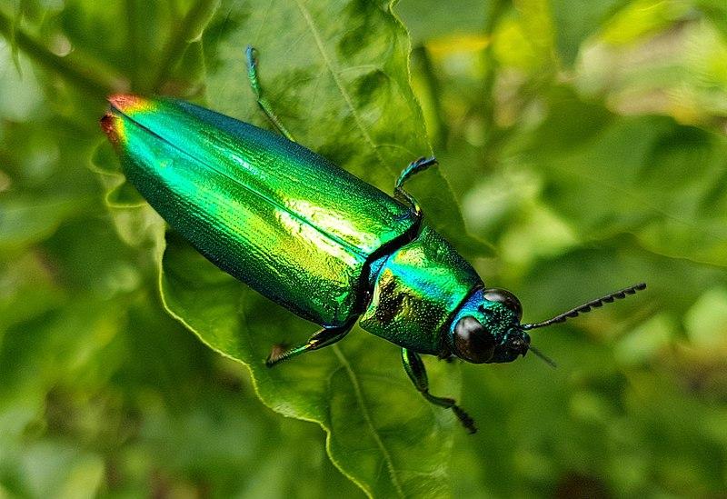File:Jewel beetle (Chrysochroa fulminans), Mindanao, Philippines 08.jpg