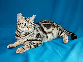 English: American shorthair cat Romeo from Sta...
