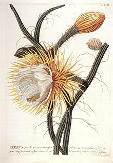 <i>Selenicereus grandiflorus</i> species of plant