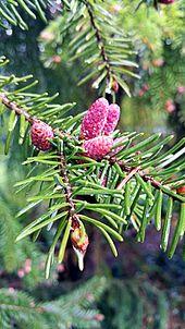 Zapfen Botanik Wikipedia