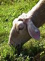 Juni 2012 Kopf weidendes Schaf Hunsrück.JPG