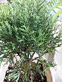 Juniperus chinensis (potted) 1.jpg