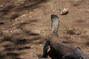 Rinca - Image: Juvenile Komodo dragon at Rinca