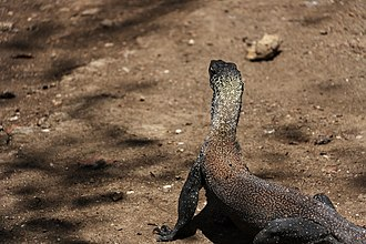Rinca - Image: Juvenile Komodo dragon at Rinca