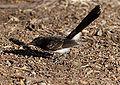 Juvenile Rhipidura leucophrys - Ingle Farm - feeding.jpg