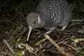Juvenile little-spotted kiwi (Apteryx owenii).jpg