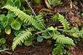 Källkambräken - Blechnum spicant var.fallax0126 - Flickr - Ragnhild & Neil Crawford.jpg