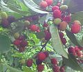 Kafal(blackberry) 2014-06-04 08-48.jpg