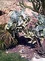 Kalanchoe beharensis 2Alicante.jpg