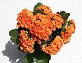 Kalanchoe blossfeldiana (forme horticole à fleurs doubles) - 3.jpg