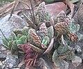 Kalanchoe humilis (4449493843).jpg