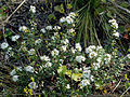 Kalmia buxifolia NRCS-2.jpg