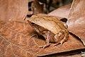 Kalophrynus interlineatus, Striped sticky frog - Khao Khitchakut District (33500345788).jpg