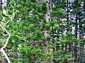 Kauai Evergreens 1 (3271253552).jpg