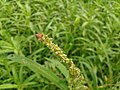 Kawun Flower.jpg