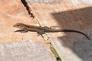 <i>Kentropyx calcarata</i> species of reptile