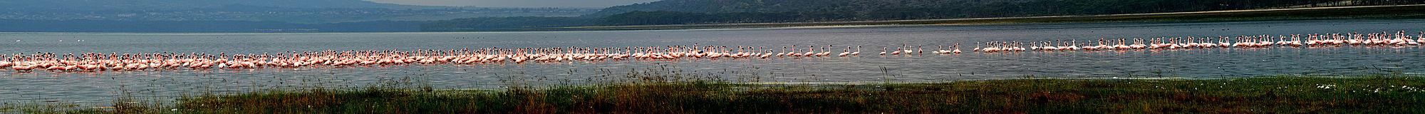 פלמינגו באגם
