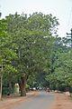 Kigelia africana - Santiniketan-Sriniketan Road - Santiniketan 2014-06-29 5393.JPG