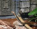 King Cobra 25.jpg