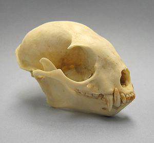 Kinkajou - Kinkajou skull