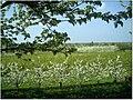 Kirschblüte - panoramio (26).jpg