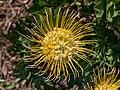 Kirstenbosch National Botanical Garden, Cape Town (P1060055).jpg