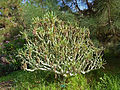 Kleinia neriifolia (Jardín Botánico Canario Viera y Clavijo).jpg