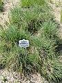 Koeleria pyramidata - Botanischer Garten München-Nymphenburg - DSC07881.JPG