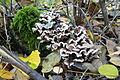 Kompleks lasow Lulinek Baborowo (4, mushroom).JPG