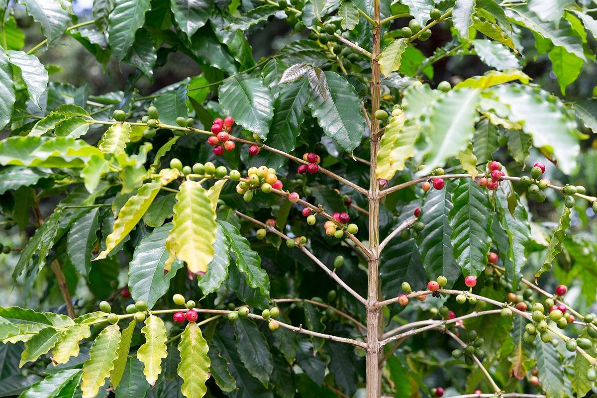 Kona coffee - Wikipedia