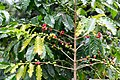 Kona Coffee fruits(2).jpg