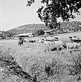 Kudde runderen met een herder te paard in een heuvelachtig en boomrijk landschap, Bestanddeelnr 255-4632.jpg