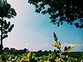 Kuncup bunga mojosari 09.12.56 1.jpg