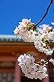 Kyoto, 桜, sakura, Ninnajii - Cherry blossoms 2015 - panoramio (2).jpg