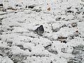 La Pieta'-01,02,2012-Piccione nella neve.jpg