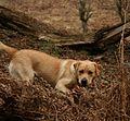 Labrador on Quantock (2307924184).jpg