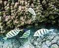 Labroides phthirophagus cleans mouth of convict tang.jpg