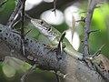 Lacerta viridis, Djerdap NP, Srbija (57).jpg
