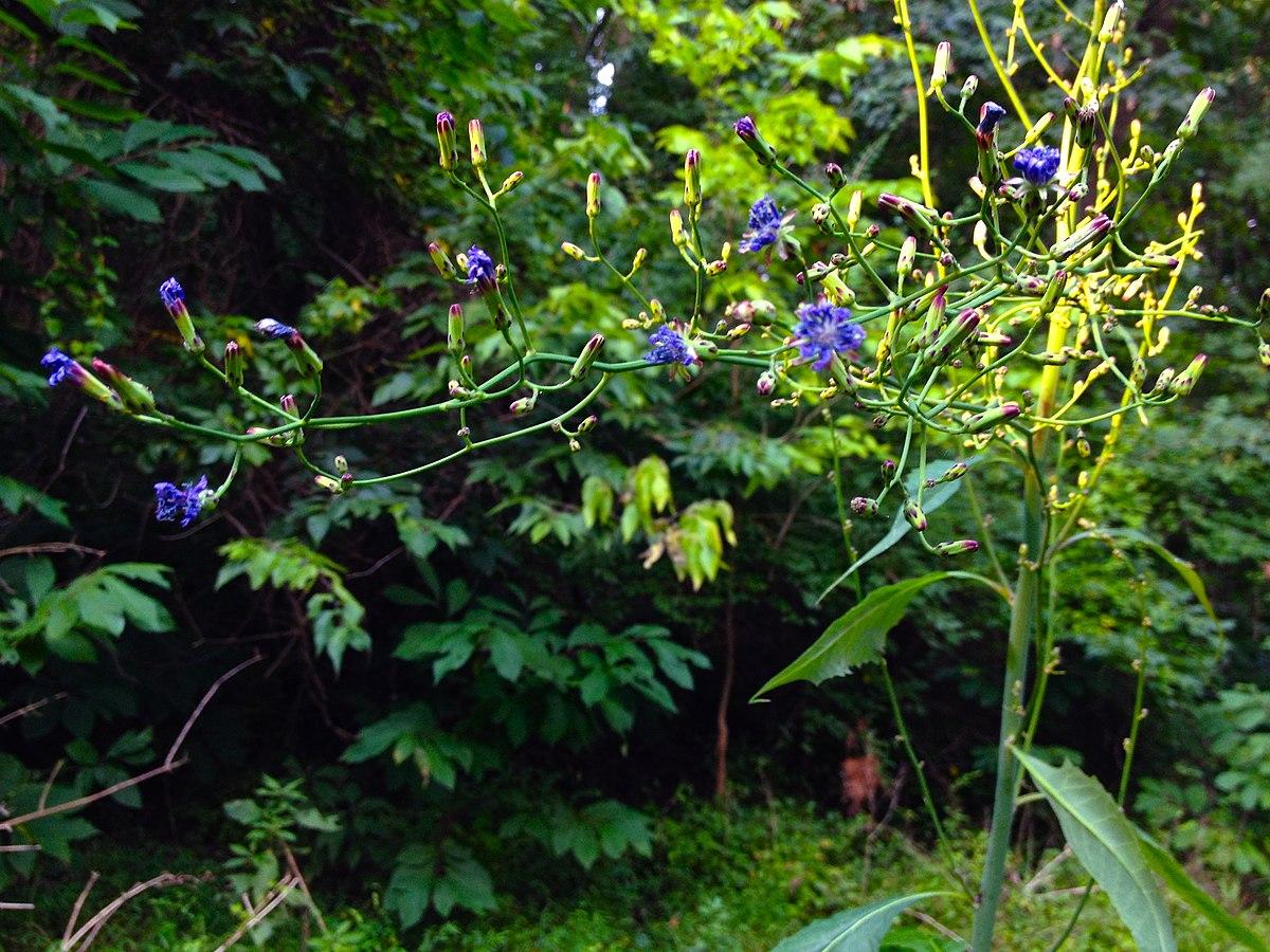 Lactuca floridana - Wi...