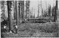 Ladd photo of log cutter felling timber on Moses Mountain logging unit. - NARA - 298696.tif