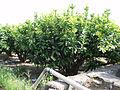 Lainwu (Wax apple) orchard P6252235.JPG
