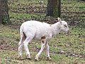Lamb at Serengeti-Park-Hodenhagen (1).jpg