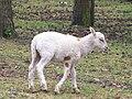 Lamb at Serengeti-Park-Hodenhagen (1).jpg