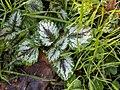 Lamium galeobdolon argentatum 109739960.jpg
