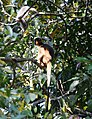 Langur sitting on a branch and searching for food.jpg