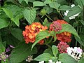 Lantana from Lalbagh flower show Aug 2013 8043.JPG