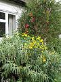 Lapageria rosea, Senna corymbosa & Buddleja salviifolia (15413647142).jpg